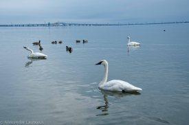 Лебеди-трубачи на просторах озера Онтарио