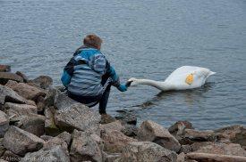 Угощение для лебедя