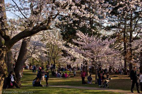 Cherry blossom event