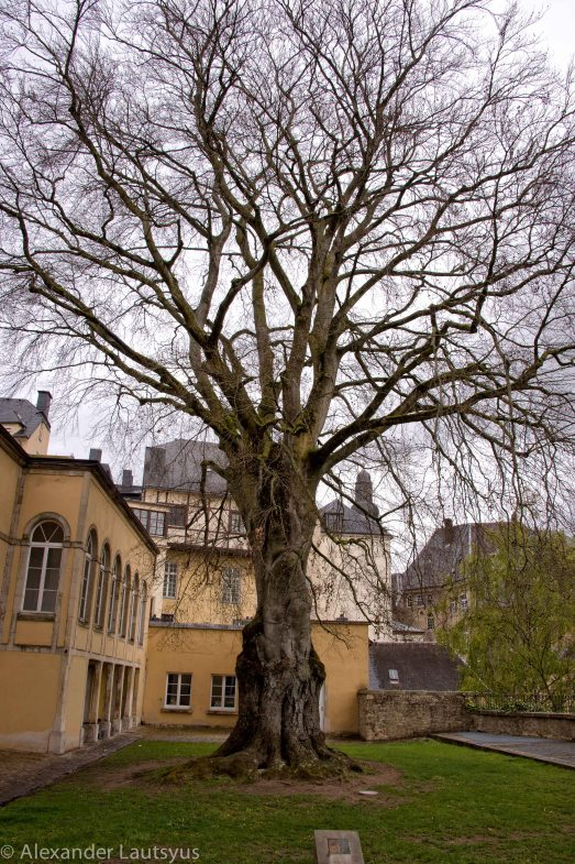 Luxembourg Oldest Tree