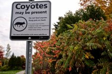 Coyotes in the Park