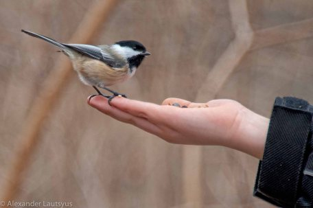 Bird eat seeds from the human hand