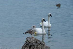 Gull and Trumpeter Swans