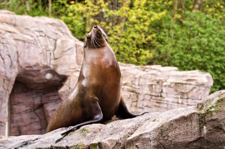 Karlsruhe Zoo, Sea Lion