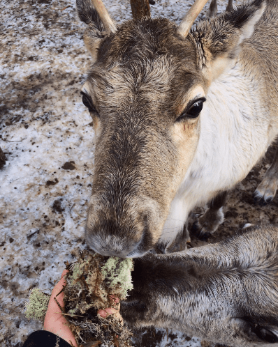 Fun fact: reindeer love to eat lichen.