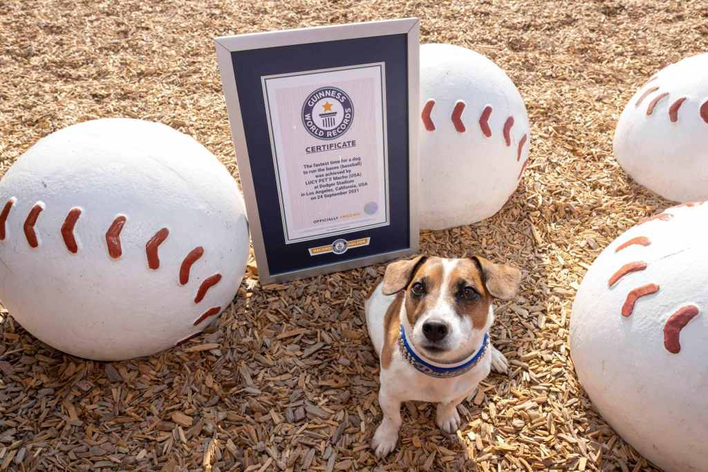 Macho achieved the record;  Little Russell Terrier Is the Fastest Dog to Run Base at MLB Stadium