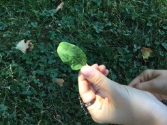 Round leaf Plantain (Plantago officinalis)