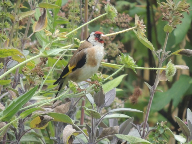 A goldfinch in the garden.