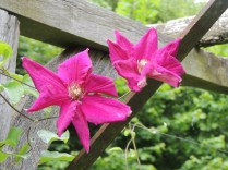 Dark pink clematis on the trellis by Stephanie Woods