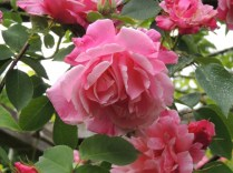 Pretty pink roses on the trellis by Stephanie Woods