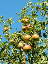 Apples by Stephanie Woods