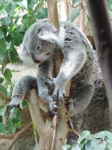 Koala, Edinburgh Zoo
