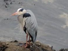 Heron at St Andrews