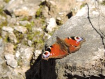 Butterfly, Falkland