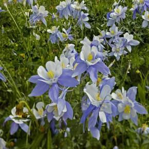 Aquilegia coerulea - Colorado Blue Columbine, Rocky ...