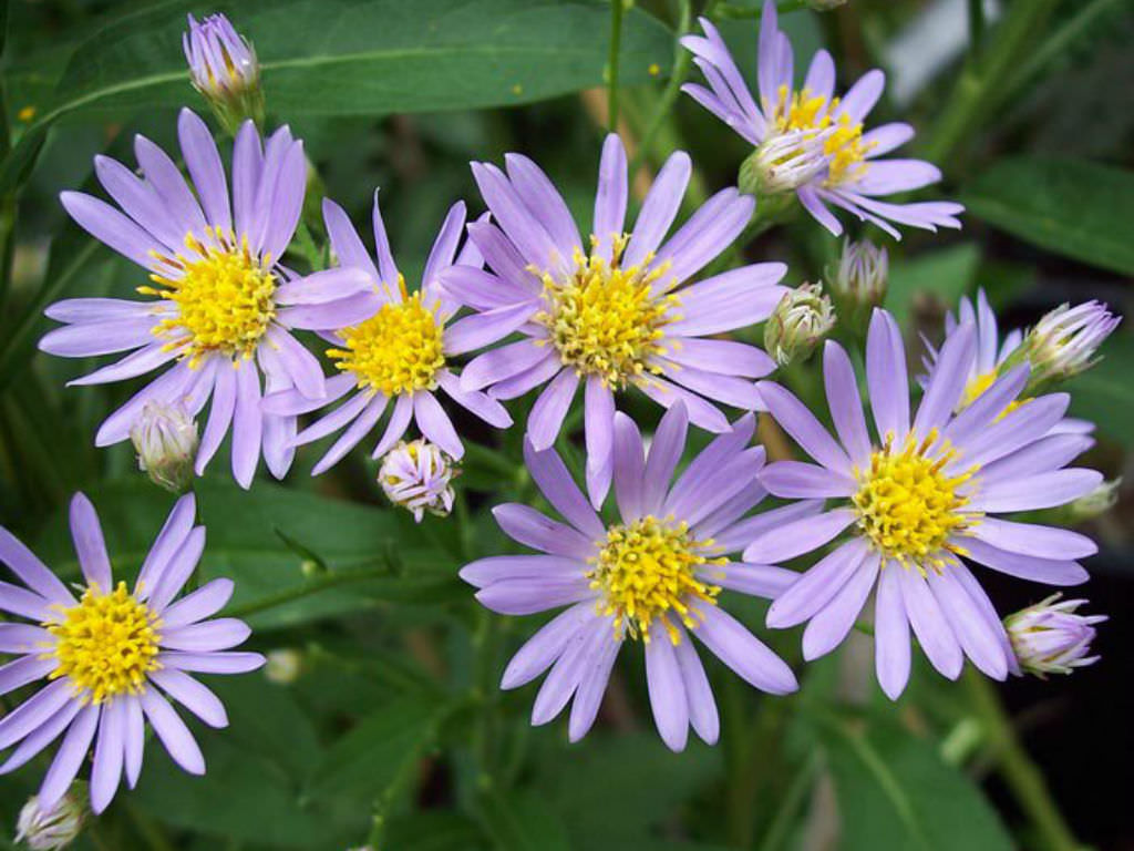 Aster tataricus (Tatarian Aster) | World of Flowering Plants