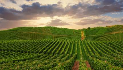 Pfalz vineyard