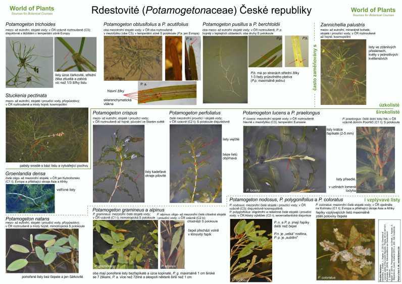 Potamogetonaceae