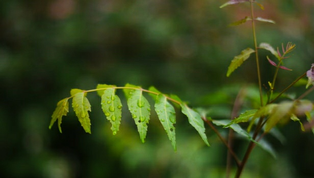 21 benefits of neem will surprise you ans some disadvantage of neem