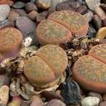 Lithops Lesliei Leslie S Living Stone World Of Succulents