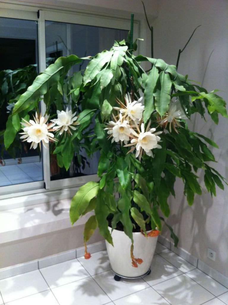 Ghost Plant Succulent
