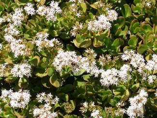 Crassula ovata – Money Tree, Jade Plant, Lucky Plant