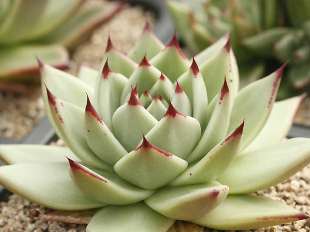 Large Cactus Plants Sale