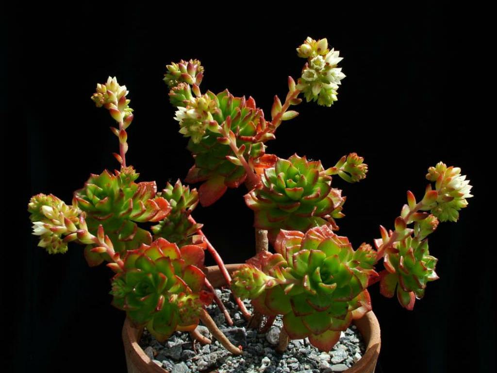 Sedeveria Letizia Lety S Sedeveria World Of Succulents