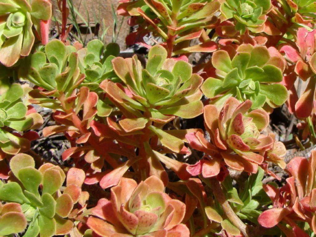 Aeonium Spathulatum World Of Succulents