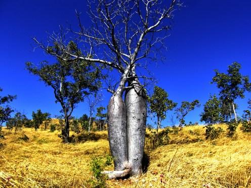Doppelbaum im Kimberly/Western Austalia