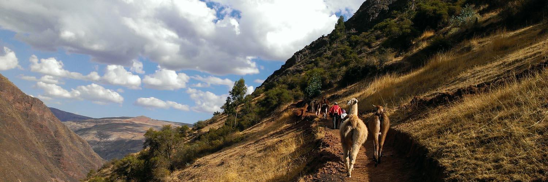llama trek in Peru