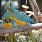 Blue and yellow Macaws12