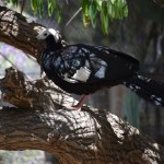 Blue-throated Piping Guan12