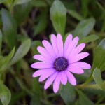 Purple Daisy212