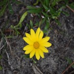 Yellow Daisy112