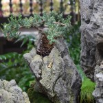 Bonsai tree on a rock12