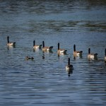 Canadian Geese swim in line12