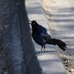 Great-tailed Grackle sings its lung out12