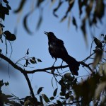 Great-tailed Grackle sings on a tree12
