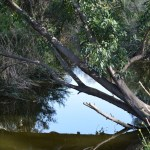 Tree leans over a creek12