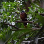 Blue-headed Dove12