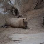 Capybara12