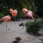 Caribbean Flamingos asleep12