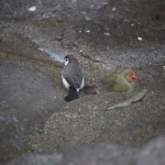 Double-barred Finch with Star Finch12