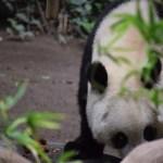 Great Panda12