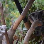 Koala112