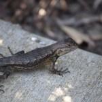 Lizard up close12