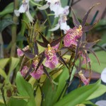 Purple dotted Orchids12