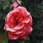 Rose-Artistry12