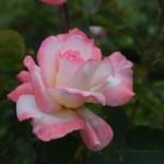 Rose-Secret12